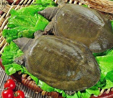 濟寧魚臺小吃 魚臺甲魚